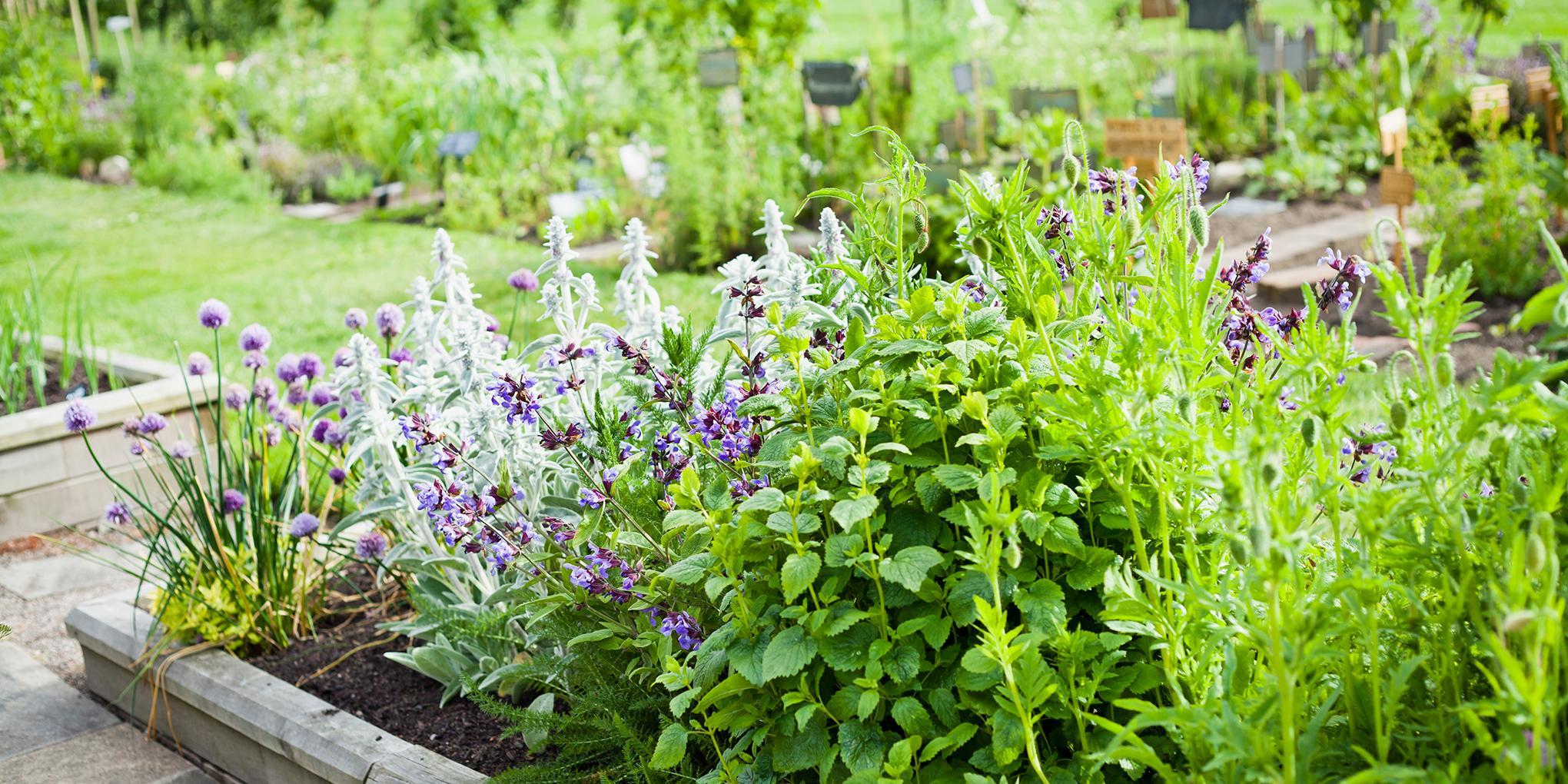 bloeiende kruidentuin met rozemarijn, bieslook, munt en andere kruiden.