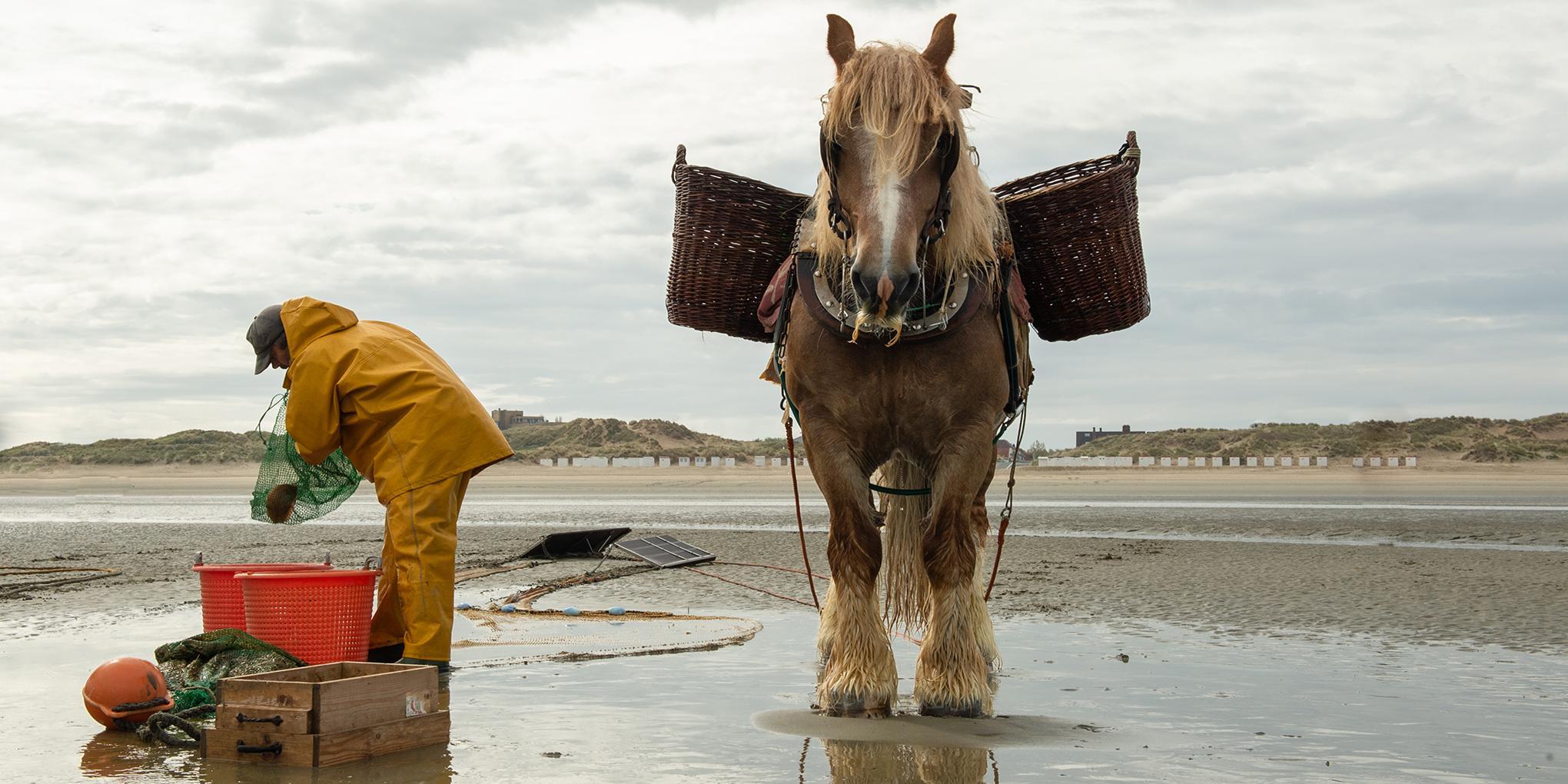 Een belangrijke lokale producent voor sterrenchef Willem Hiele: de paardenvissers.