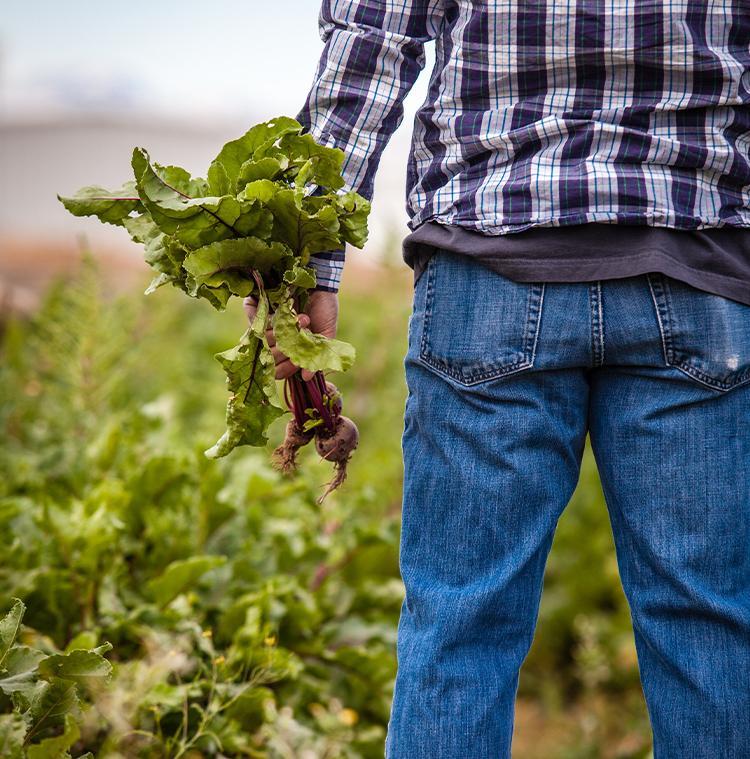 producteur local dans son champs de betterave